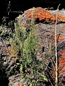 Thelypodium laciniatum