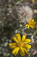 Heterotheca villosa var. pedunculata