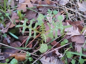 Pholistoma auritum