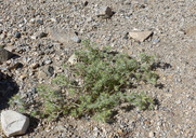 Cryptantha nevadensis var. nevadensis