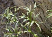 Cymopterus panamintensis var. acutifolius