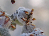 Ziziphus obtusifolia var. canescens
