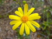 Senecio californicus