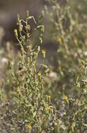 Heterotheca oregona var. scaberrima