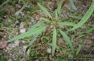Amaranthus fimbriatus