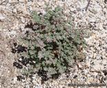 Euphorbia melanadenia