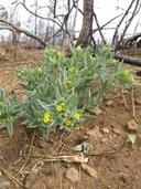 Lithospermum californicum