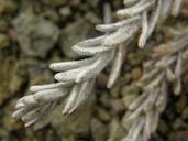 Anisocarpus scabridus