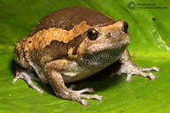 Banded Bull Frog