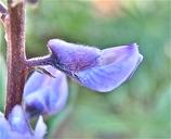 Lupinus arbustus
