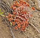 Claytonia rubra ssp. rubra