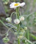 Erigeron philadelphicus var. philadelphicus