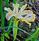 Iris chrysophylla