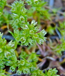 Scleranthus annuus ssp. annuus