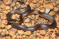 Mitchell's Short-tailed Snake