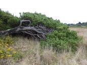 Pinus contorta ssp. contorta