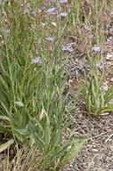 Lactuca tatarica ssp. pulchella