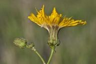 Sonchus arvensis ssp. uliginosus