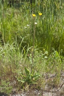 Sonchus arvensis ssp. arvensis