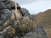Agave utahensis var. nevadensis