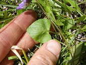 Viola nephrophylla