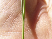 Juncus tenuis