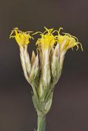 Chrysothamnus depressus
