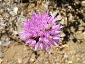 Allium sanbornii var. sanbornii