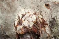 Ganoderma resinaceum