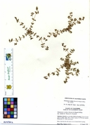 Euphorbia ocellata ssp. rattanii