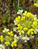 Castilleja campestris ssp. campestris