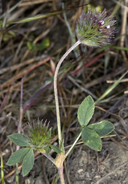 Trifolium albopurpureum var. olivaceum