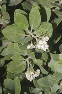 Arctostaphylos crustacea ssp. crustacea