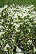 Eriogonum heermannii var. heermannii