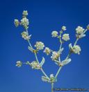 Eriogonum viridescens