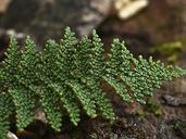 Cheilanthes clevelandii