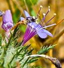 Navarretia viscidula