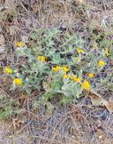 Eriophyllum lanatum var. obovatum