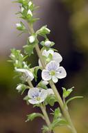 Veronica serpyllifolia ssp. serpyllifolia