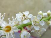Prunus laurocerasus