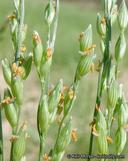 Panicum hirticaule ssp. hirticaule