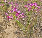 Allium bolanderi var. bolanderi