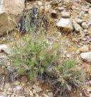 Hymenopappus filifolius var. megacephalus