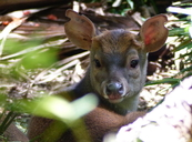 Grey Brocket Deer