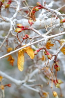 Acer glabrum var. diffusum