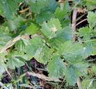 Apium graveolens