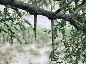 Prosopis glandulosa var. glandulosa