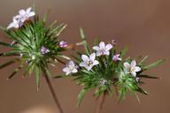 Navarretia modocensis