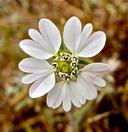 Hemizonia congesta ssp. clevelandii