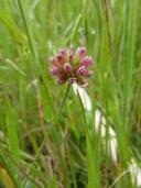 Trifolium bifidum